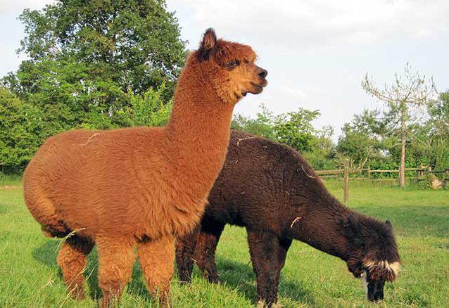 Laines de mon jardin – Laine d\'alpagas, de chèvres et de moutons